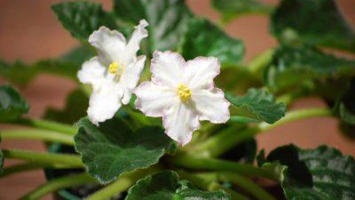 Flower, Image, Natural, Violet, White