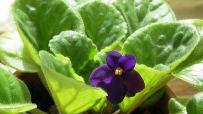 Flower, Image, Natural, Violet, Widescreen