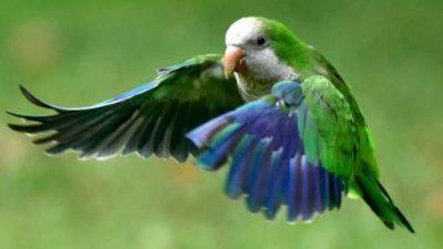 Cute, Flying, Image, Lovely, Monk, Parrot