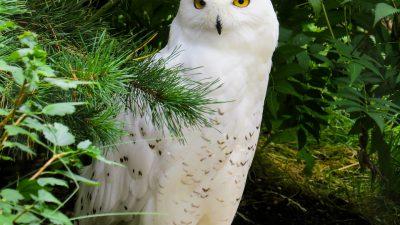 Beautiful, Eyes, Image, Owl, Snowy, White, Yellow