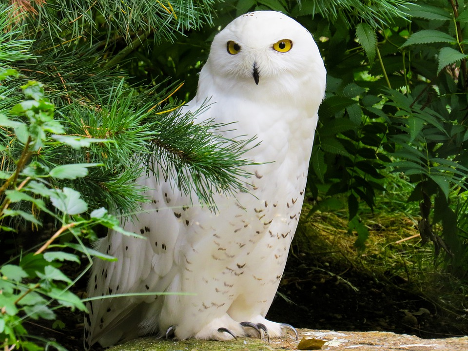 Snowy Owl Image