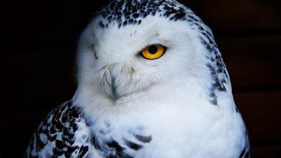 Bird, Image, Natural, Owl, Snowy, Widescreen