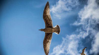 Beautiful, Flying, Image, Natural, Sea, Seagull