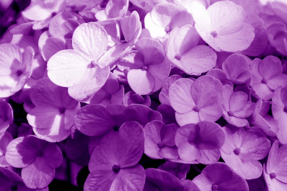 Violet Flower Wallpapers