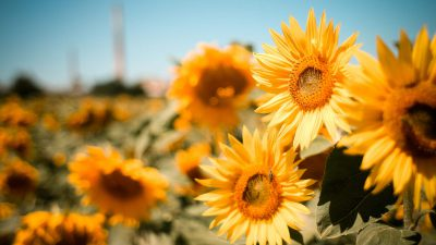 Background, Desktop, Natural, Nice, Sunflowers