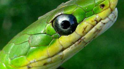 Black, Eye, Green, Image, Snake, Widescreen