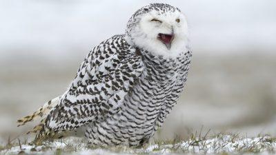 Image, Nice, Owl, So, White