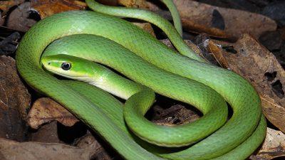 Backgrounds, Green, Natural, Snake, Widescreen