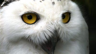 Eyes, Owl, Wallpaper, White, Yellow