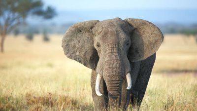 Big, Elephant, Image, Teeth